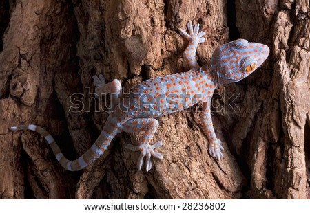 A baby tokay gecko is walking across a tree trunk.