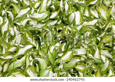 A background image of green and white hosta - stock photo