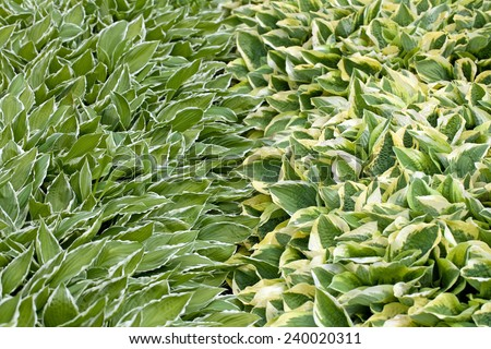 A background image of green, white and yellow hosta - stock photo