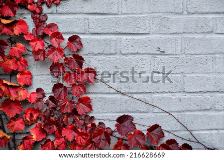 A background of a gray brick wall partially covered corner border of autumn grape vines and autumn red leaves.  Room for copy space.  - stock photo