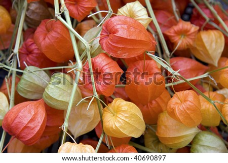 chinese lantern plant stock images, royaltyfree images  vectors, Beautiful flower