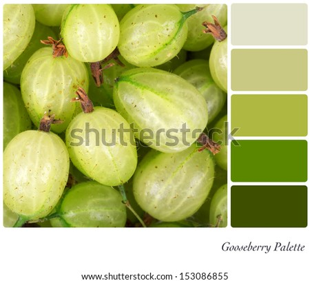 A background of fresh gooseberries in a colour palette with complimentary colour swatches - stock photo
