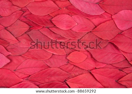 A background of red leaves from a burning bush - stock photo