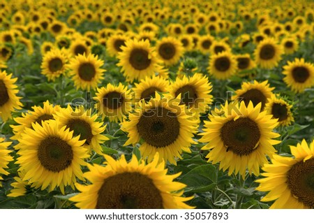 A background with sunflowers - stock photo