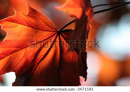 A backlit Red Maple leaf shot from a beneath. - stock photo
