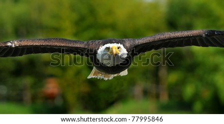 A bald (american) eagle focuses on his target - stock photo