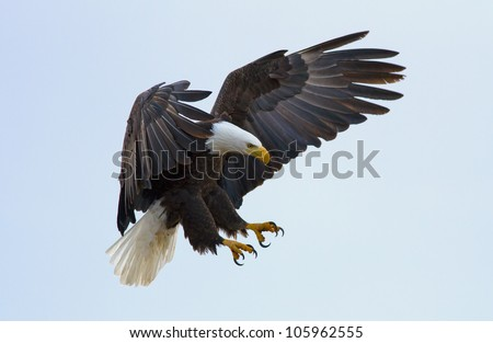 A bald eagle about to land - stock photo