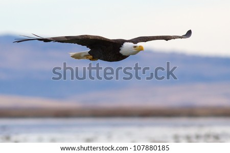A Bald eagle flying above a lake - stock photo