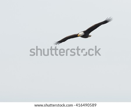 A bald eagle in flight over the Mississippi River along the Great River Road near Alton, Illinois - stock photo