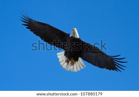 A Bald eagle is flying overhead with tail spread. Taken at the Klamath Basin Wildlife Refuges - stock photo