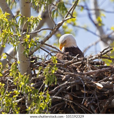 A Bald Eagle laying on a newly constructed nest in a budding tree.