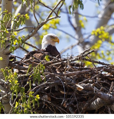 A Bald Eagle laying on a newly constructed nest in a budding tree. - stock photo