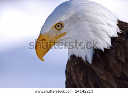 A bald eagle portrait - stock photo