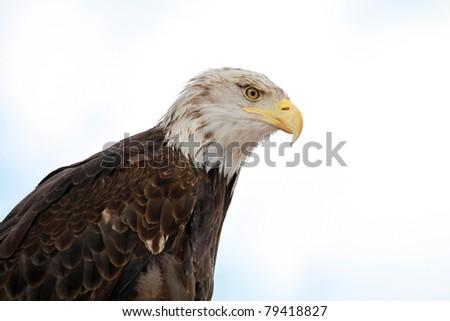 A bald eagle portrait .Symbol of the United States of America. - stock photo