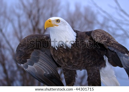 A bald eagle stretching his wings - stock photo