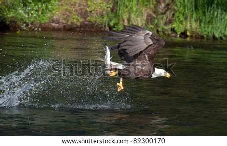 A bald eagle swoops along the surface of a river in Katmai National Park in Alaska to catch salmon - stock photo