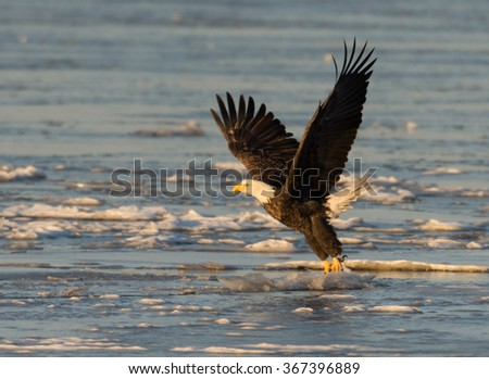 A bald eagle takes flight from ice chunks floating on the Mississippi River along the Great River Road near Alton, Illinois - stock photo