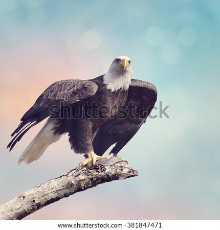 A Bald Eagle  Taking off - stock photo