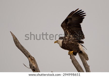 A Bald Eagle taking off into flight from a branch. - stock photo