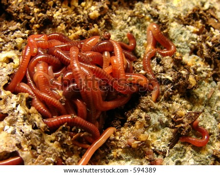 A ball of worms feeding - stock photo