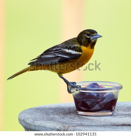 A Baltimore Oriole perched on a dish filled with grape jelly.