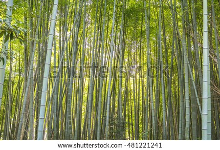 A bamboo forest in Kyoto, Japan