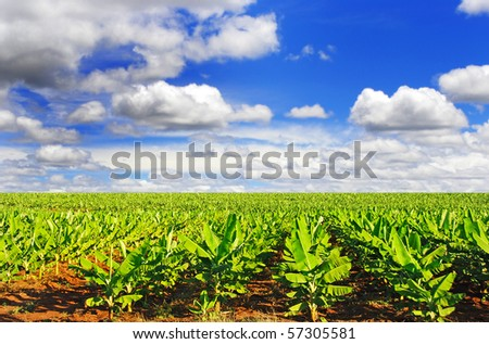 a Banana field in late afternoon sunlight with sky and clouds - stock photo