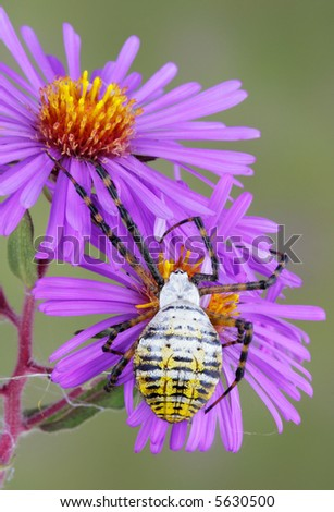 A banded argiope is climbing on purple wildflowers. - stock photo