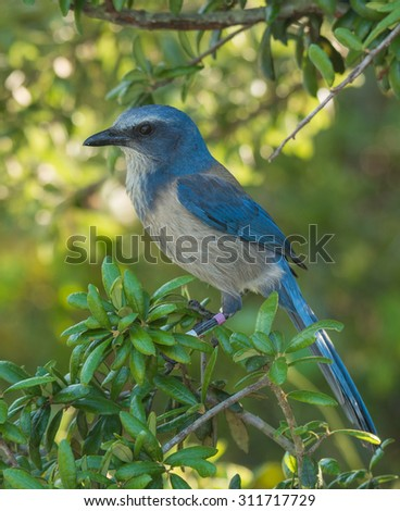 A banded Florida Scrub-jay, a federally threatened species, perches in the bushes of its scrub habitat in a central Florida wildlife area. - stock photo