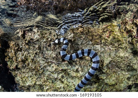 A Banded sea krait (Laticauda colubrina) slithers along the side of an island in the tropical western Pacific, just under the surface of the water. This species of snake is extremely venomous. - stock photo