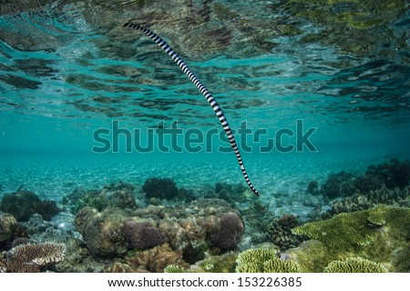A Banded sea snake (Laticauda colubrina) dives toward a shallow coral reef after breathing at the surface. This is an extremely venomous but docile species of snake. - stock photo