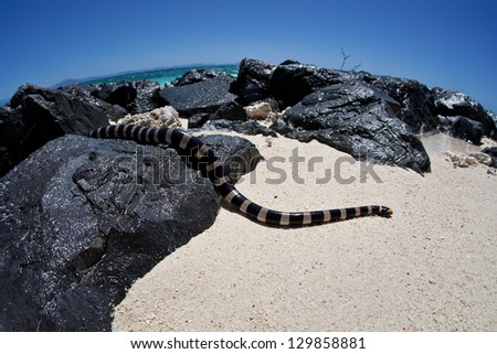 A Banded sea snake (Laticauda colubrina) slithers out of the sea and onto a warm, sandy beach in New Caledonia.  This snake is extremely venomous but quite docile. - stock photo