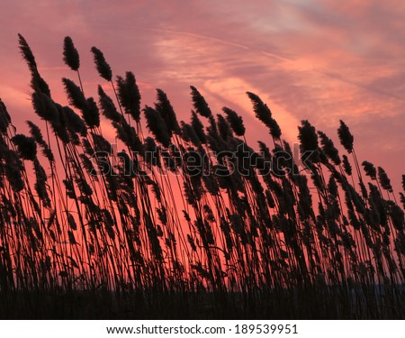 A bank of Sea Oats sway in the breeze along a beach at sunset. - stock photo