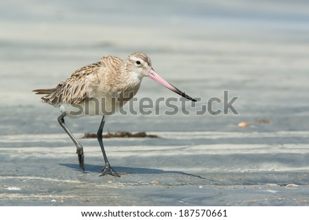A Bar-tailed Godwit (Limosa lapponica) striding along at the beach - stock photo