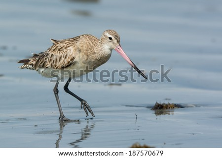 A Bar-tailed Godwit (Limosa lapponica) walking across wet sand at low tide - stock photo