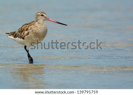 A Bar-Tailed Godwit posing in shallow water - stock photo