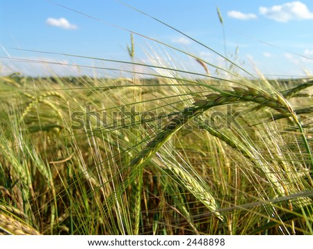 A barley field with shining golden barley ears in late summer - stock photo