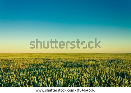 A barley field with shining green barley ears in early summer - stock photo