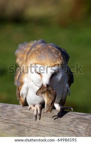 A barn owl eating a vole - stock photo