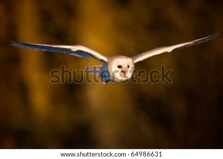 A Barn owl flying in the evening light - stock photo