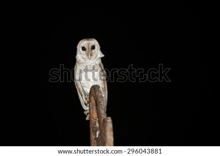 A barn owl isolated on black in the night background. Owl with sharp staring eyes perched on a light stand. Barn Owls are silent predators looking to catch a prey at night. Kozhikode Kerala India - stock photo