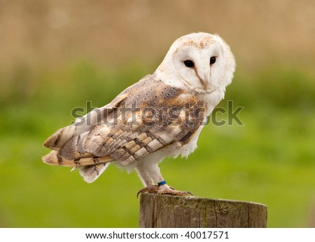 A barn owl perched on a tree stump against a blurred natural background