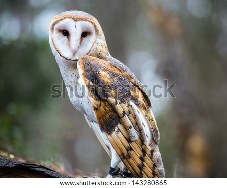 A Barn Owl poses for the camera at the Carolina Raptor Center. Beautiful snowy white face and deep black eyes. - stock photo