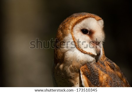 A barn owls hears a noise and looks to to the right in order to detect any danger. - stock photo