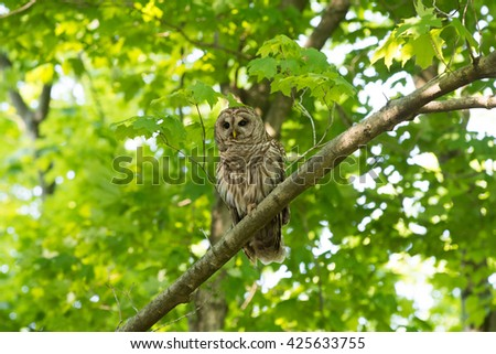 A barred owl perched in a tree in a wooded area in the midwest United States during spring