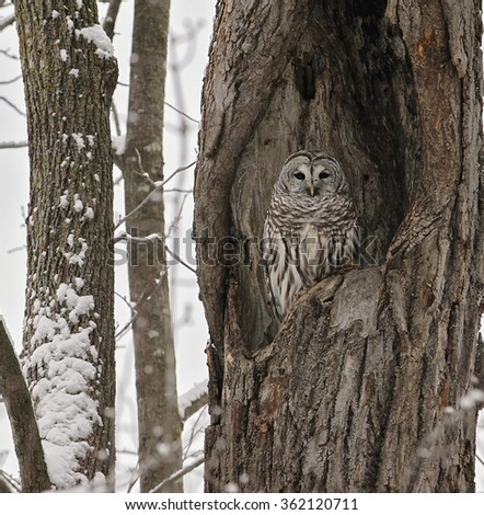 A barred owl roosts camouflaged in the cavity of a large oak tree.  Winter in Wisconsin. - stock photo