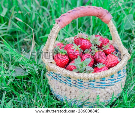 A basket of fresh organic strawberries with green grass background. These strawberries are handpicked from an organic farm in Puyallup, Washington State, US. Copy space. - stock photo