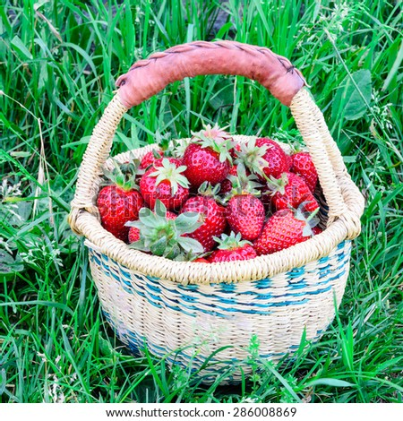 A basket of fresh organic strawberries with green grass background. These strawberries are handpicked from an organic farm in Puyallup, Washington State, US.