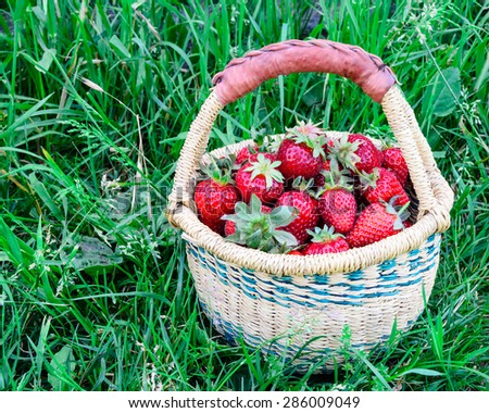 A basket of fresh organic strawberries with green grass background. These strawberries are handpicked from an organic farm in Puyallup, Washington State, US. Copy space.