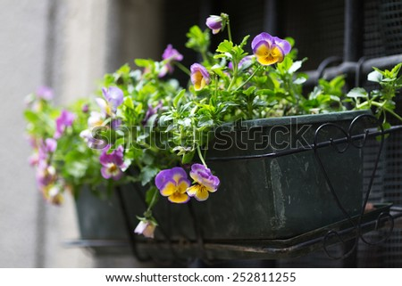 A basket of violet and yellow flowers hangs on the window of a home in an ancient building in Italy - stock photo